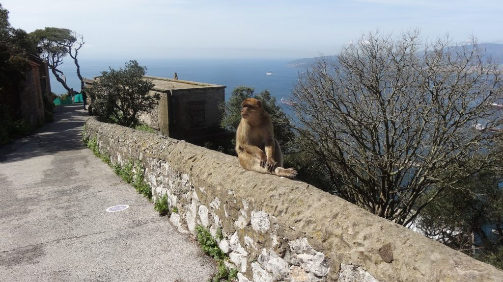 One of the famous Gibraltar apes