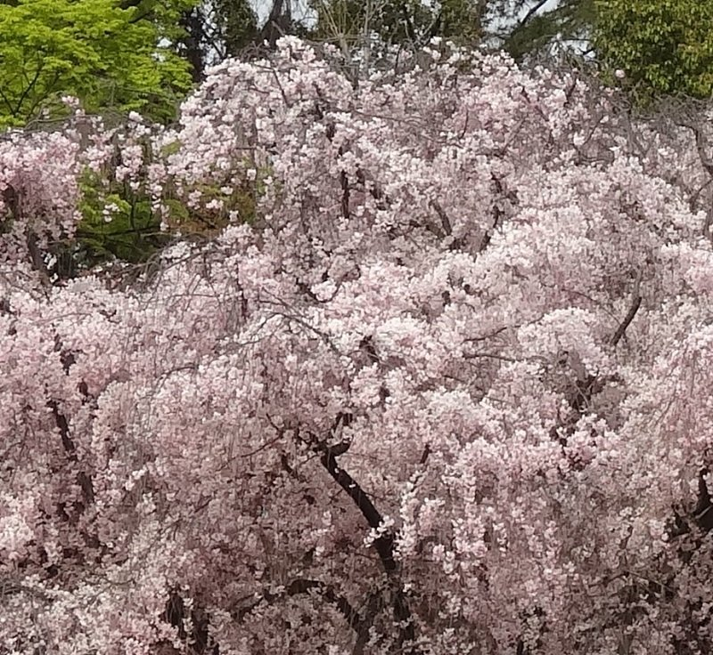 Cherry Blossom Trees in Kyoto Park