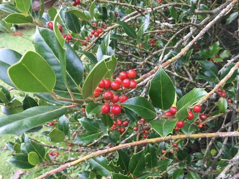 Thinking about Christmas. Holly Berries.
