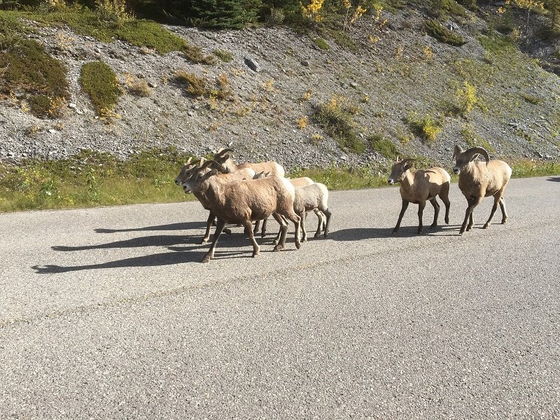 Wildlife has the right of way on the roads in Jasper National Park in Alberta